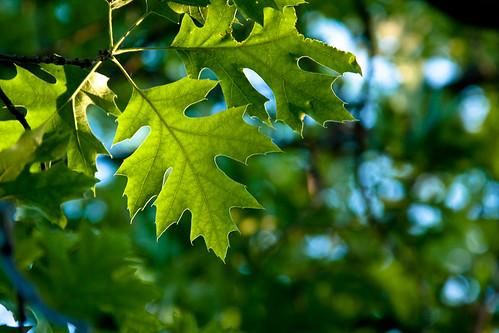 144/365 | oak leaf