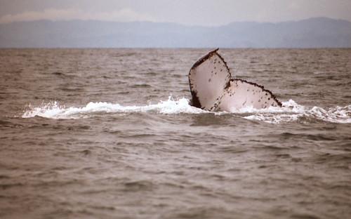 188_Humpback fluke, Madagascar, the famous ahwc#1363