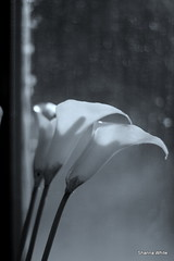 calla lillies in the window light