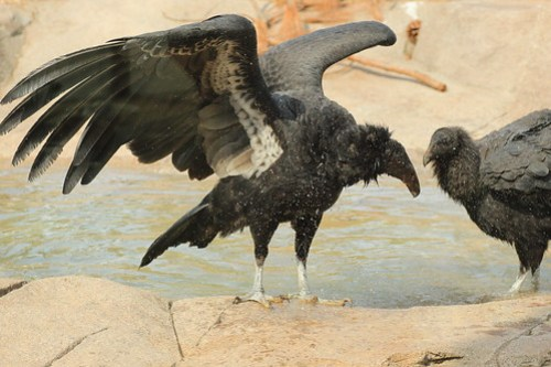 bathtime for condors