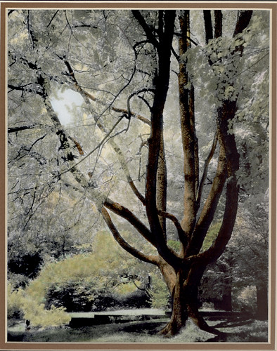 Hand colored photo of a tree   (c) Lynne Medsker