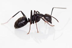 Black Carpenter Ant: Camponotus pennsylvanicus...