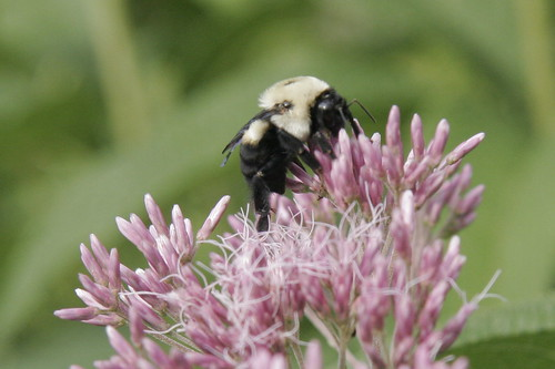 Joe Pie Weed and carpenter bee