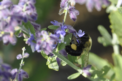 busy bee #3 (c) Lynne Medsker