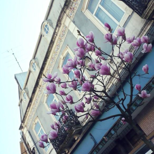 #244 - Magnolias in Coimbra