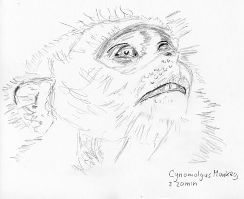 Cynomolgus Monkey 1-a