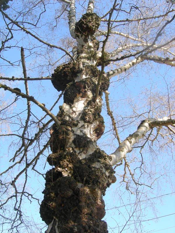 White birch with multiple burls