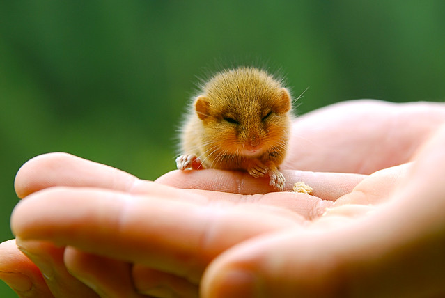 young hazel dormouse