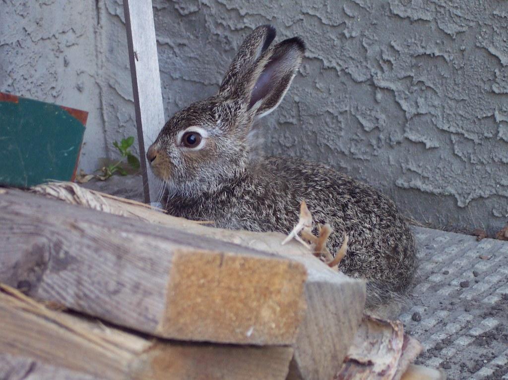 baby bunny July 2009