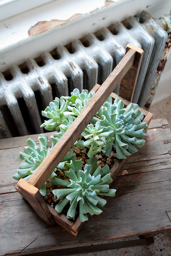 Succulents in a carrier