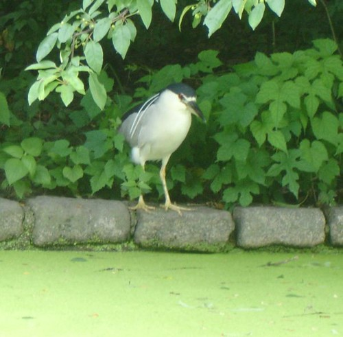 The Lurking Heron would make a good story title...