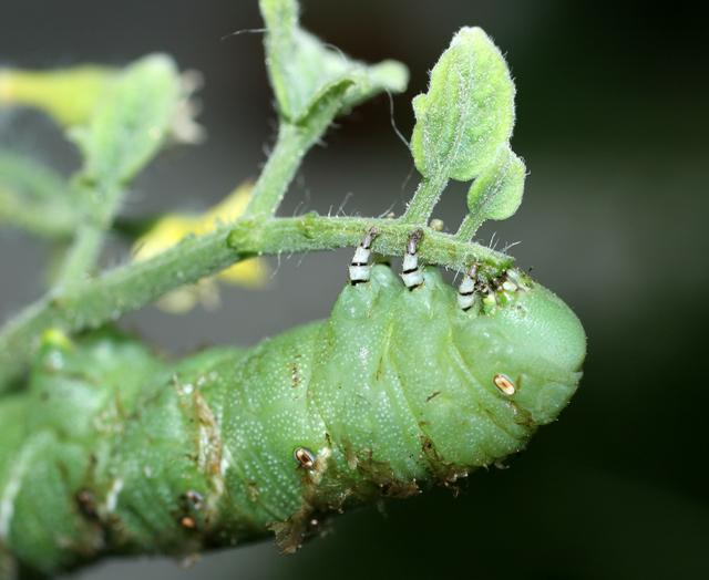 Hornworm-CU
