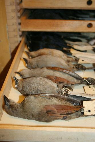 Baywing skins at Royal Ontario Museum