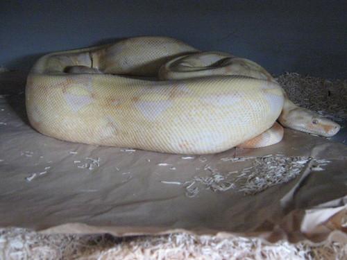 Gravid Albino Boa (I think?) :)