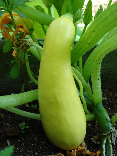 Yellow Summer Squash