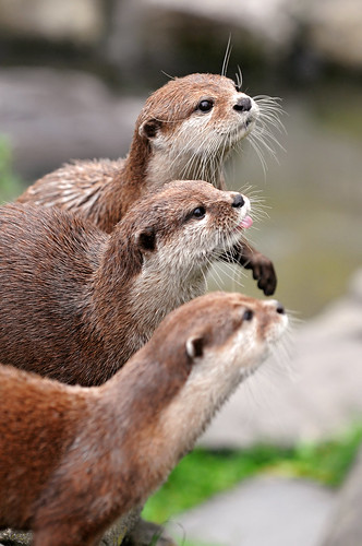 Three brown otters in a row, all looking for an (out of frame) dangled piece of food. The middle otter's tongue is sticking out.