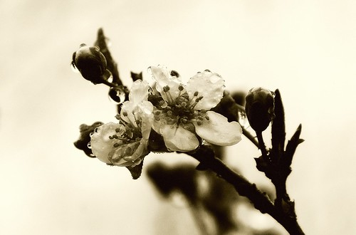 Plum Blossoms in Sepia