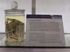 Octopus, University Museum of Zoology, Cambridge