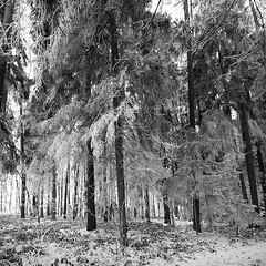 winter forest 8442