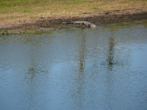 Alligator---big lizard