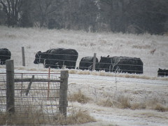 cattle in snow - better