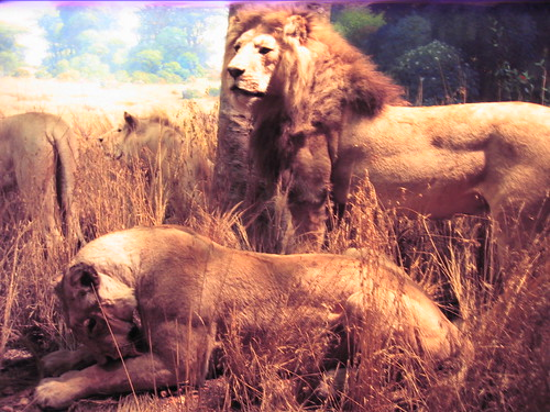 Taxidermied lions, Natural History Museum