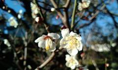 [PooFarm]梅の花が全開