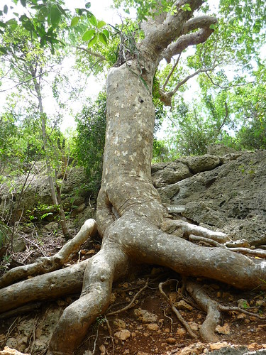 The old tree in Guanica