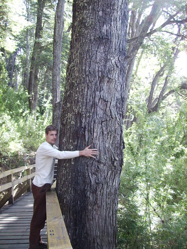 Hug an Alerce tree