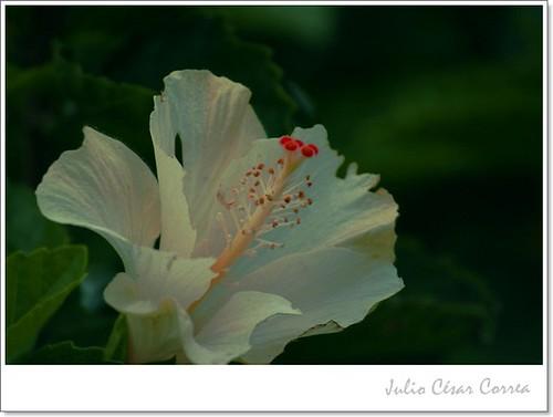 En silencio se abre una flor by Julio César Correa