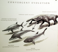 illustration of convergent evolution