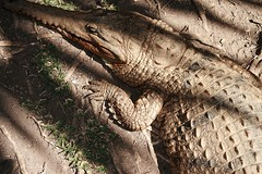 Crocodile Sleeping
