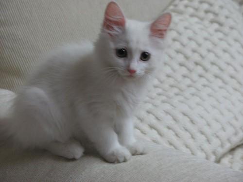고개를 돌려 정면을 응시하는 하얀 고양이