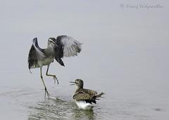 Dance of the Sandpiper   Kokrebellur