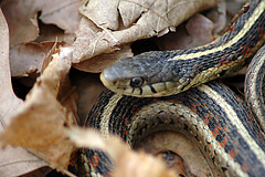 Garter snake: Flickr photo by jereandregan. Click for original.