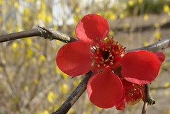 Quince flower, one petal missing, with Forsyth...