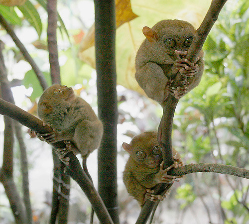 tarsier-philippines-11 by you.
