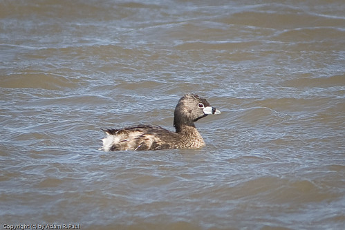 Pied-billed Grebe by you.