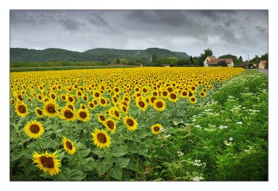 France, Sunflowers Missing the Sun at Beynac