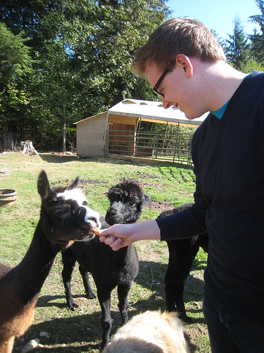 Daniel meets alpacas