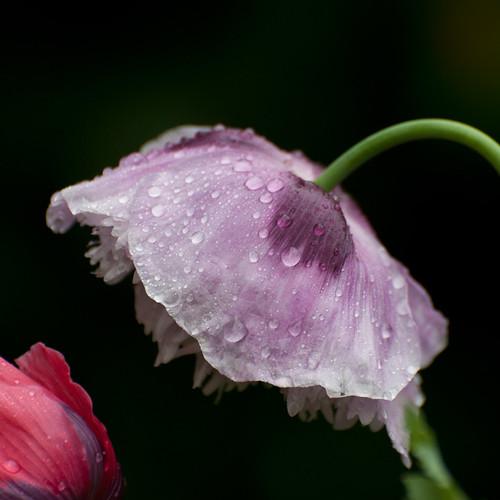 Another opium poppy, heavy from the rain last night