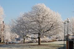 Tree at winter