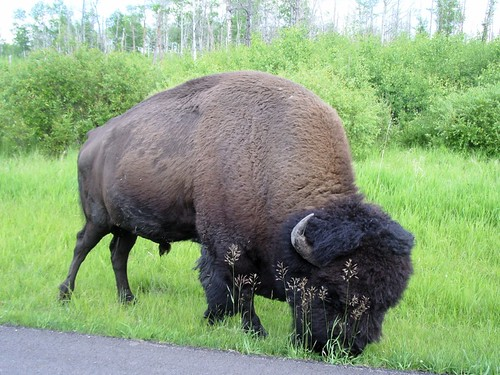 Elk Island outside of Edmonton.  Bison are scary.