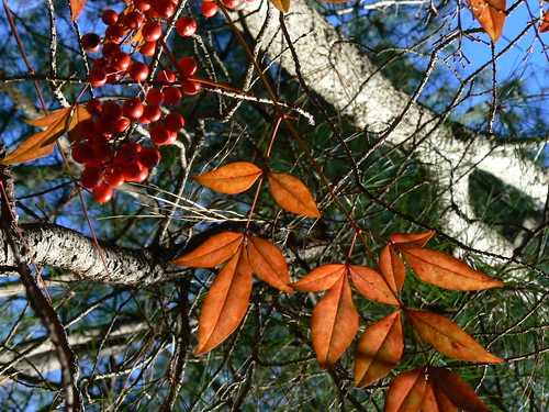 Red Berries, Orange Leaves and Evergreens