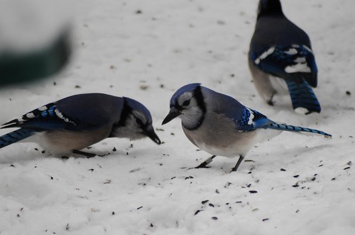 Blue Jay with a band!