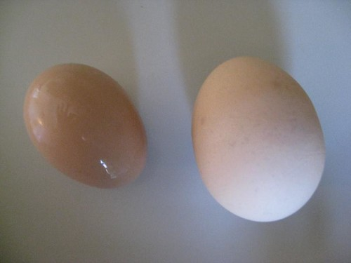 My first egg next to a normal grocery store egg.  Very tiny!
