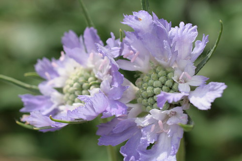 Scabiosa in the wind