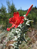 california fuchsia - epilobium canum
