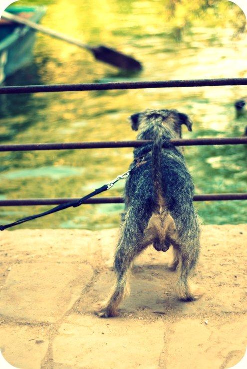 perro a la caza del pato1