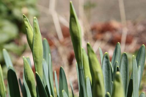 Daffodil Buds